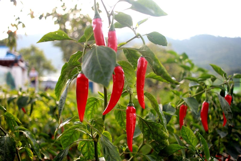 Hot Pepper Poetry Podcast