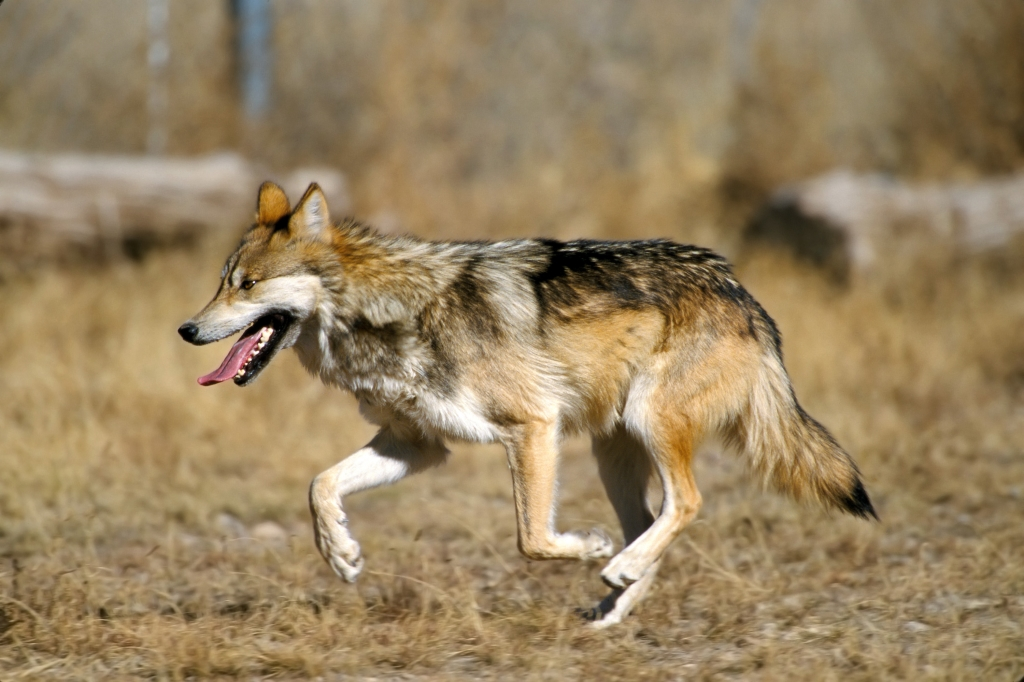 Stingy Wolf Sylet
